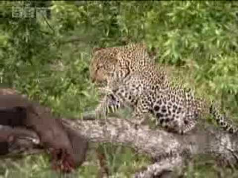 Leopard hides food for cubs in trees - BBC wildlife