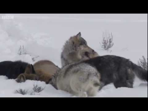 Wolf hunting elk - Yellowstone - BBC