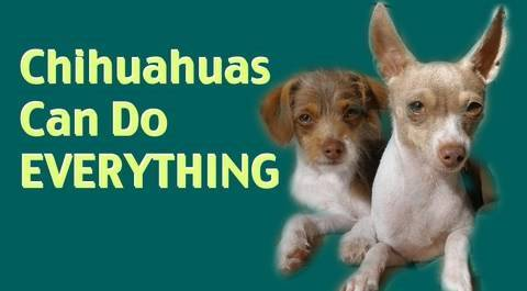 Chihuahuas can do EVERYTHING!