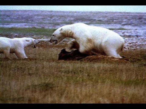 Polar Bear vs. Polar Bear: Food Snatch