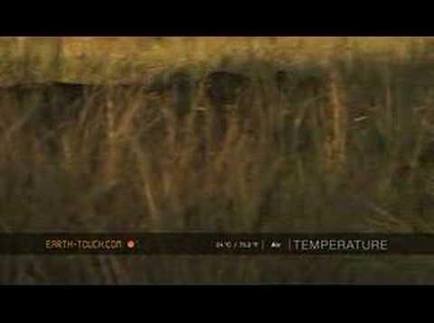 Lionesses kill buffalo