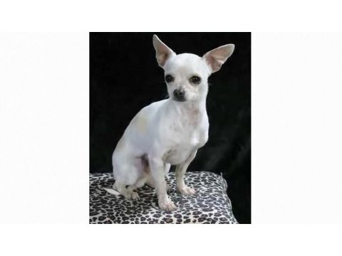 Understanding Dog Breeds: Chihuahua