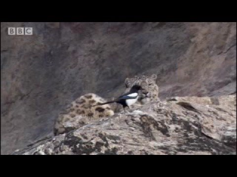 Cute mother and cub snow leopard behaviour - Snow Leopard: Beyond the Myth - BBC animals