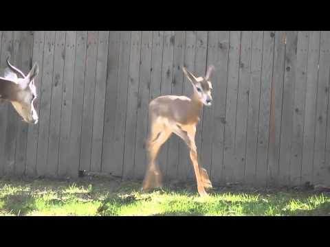 Young dama gazelle explores yard