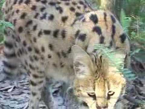 'Flagship Species' Lions and Tigers- Big Cat TV