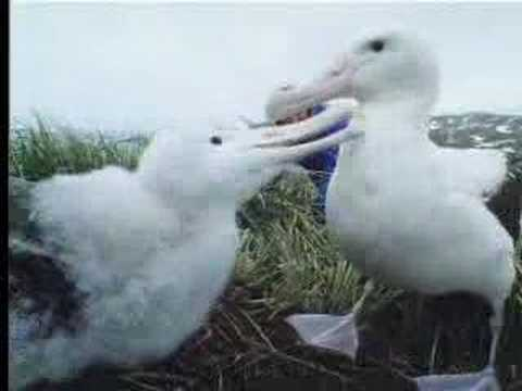 Nature of wandering Albatross birds - David Attenborough - BBC wildlife