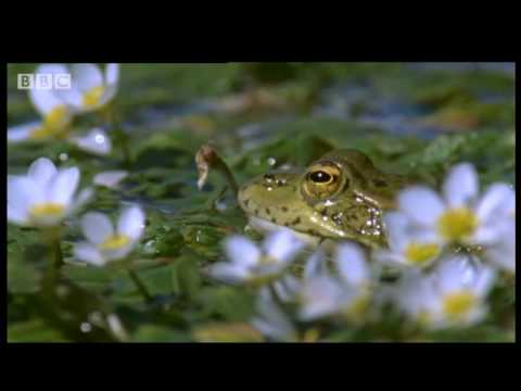 Frogs in the Forest - Creatures of the Cork Forest - BBC