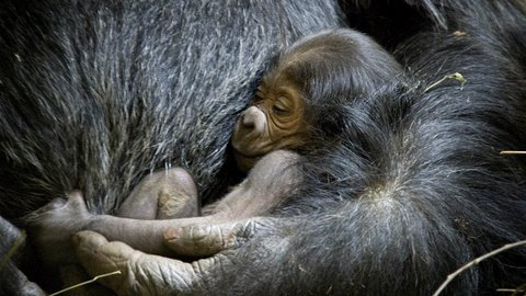 One Day Old Baby Gorilla
