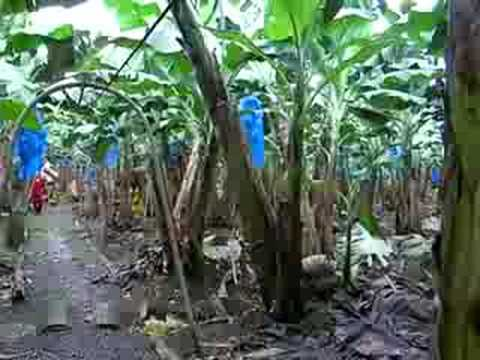 Banana Plantation, Costa Rica