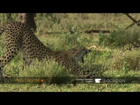 Cheetah kills wildebeest calf