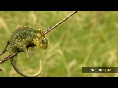 A grazing elephant, aggressive ants & a rare chameleon