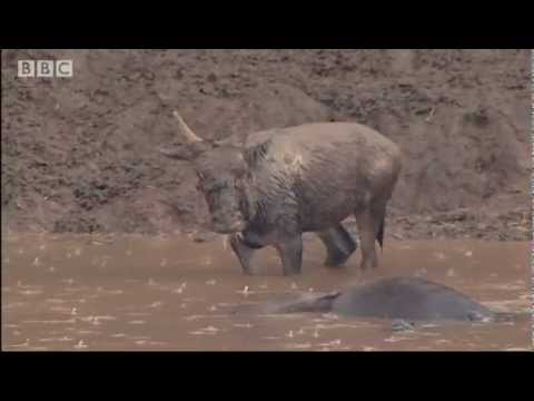 Crocodile strikes Wildebeest! - Massive Nature - BBC
