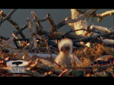 NATURE | American Eagle | Sibling Rivalry | PBS