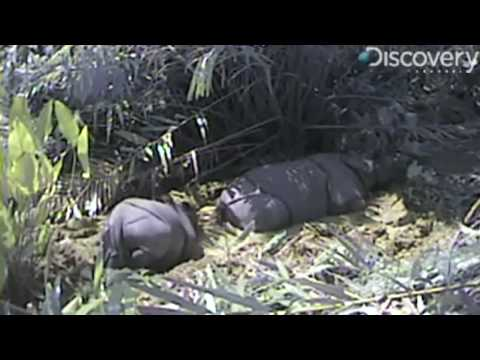 Rare Javan Rhinos Filmed