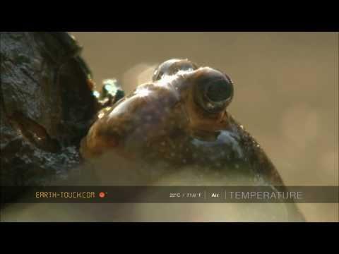 Strange-looking mudskippers show off their hunting skills