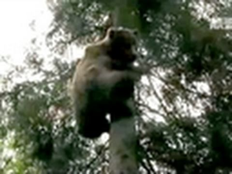 Stranger Among Bears- Grizzly Climbs to 50 Feet