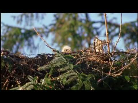 NATURE | Eagles of Mull | At the Nest | PBS