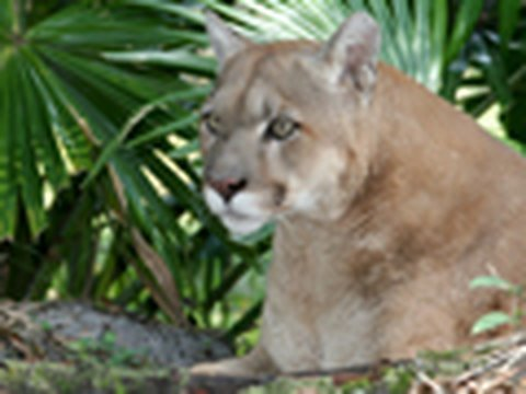 Will we save the Florida panther?