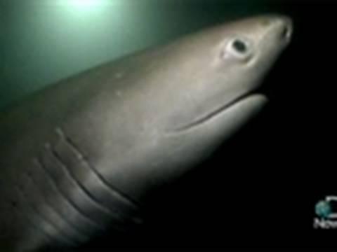 Sixgill Sharks Still a Mystery