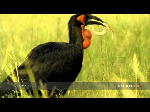 Earth's biggest hornbill hunts venomous snakes