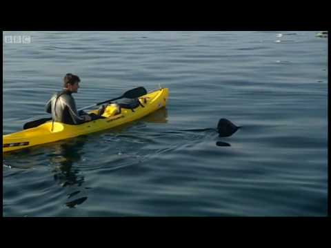 UK Shark is bigger than a Great White - Sharks - BBC