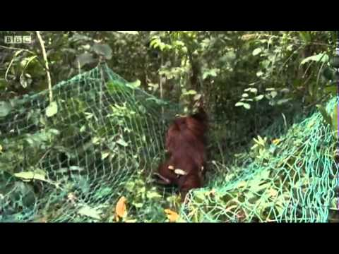 Shooting Orangutans, Part Two - Orangutan Diary - BBC
