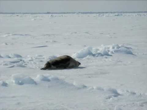 PRI's The World: On the Ice with Harp Seals in Canada