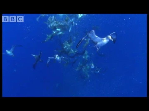 Shearwater Attack! - Blue Planet - BBC wildlife