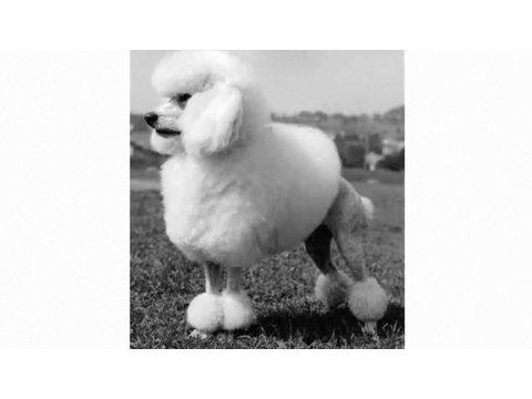 Understanding Dog Breeds: Poodle