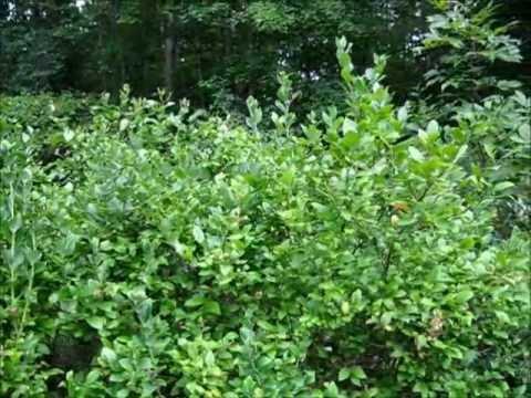 Wild Foraging Series - Wild Blueberries