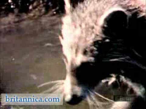 North American Raccoon Searching for Food