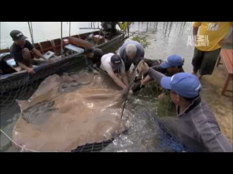 River Monsters- 400 lb. Stingray Gives Birth