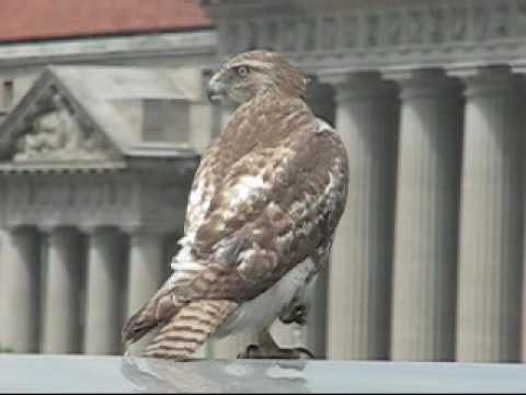 Red-tailed Hawk and the Bluejay