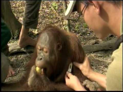 Orangutan Island - Jordan's Runny Nose