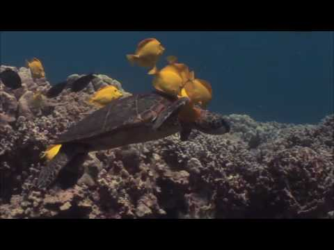 NATURE | Kilauea: Mountain of Fire | Sea Turtles | PBS