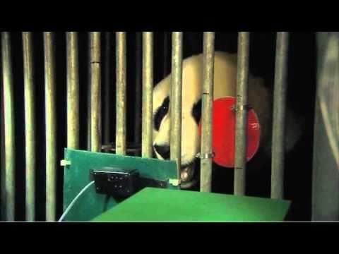 Panda Hearing Study