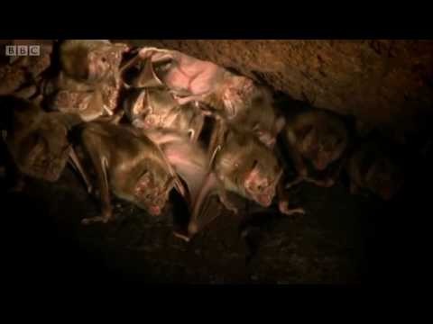 Vampire bats nesting in a cave - Expedition Guyana - BBC