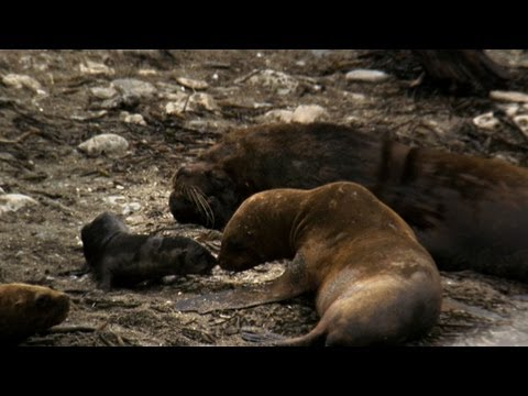 Untamed Americas - Sea Lion Mating Season