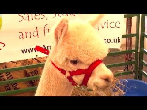 The Cutest Alpacas Ever