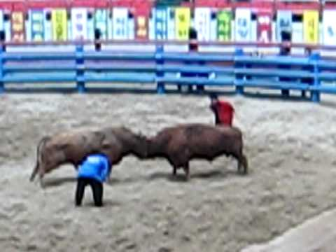 Bullfighting in South Korea