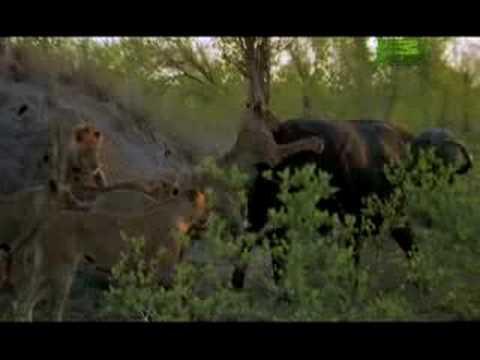 Killer Clips- Lions Attack Buffalo