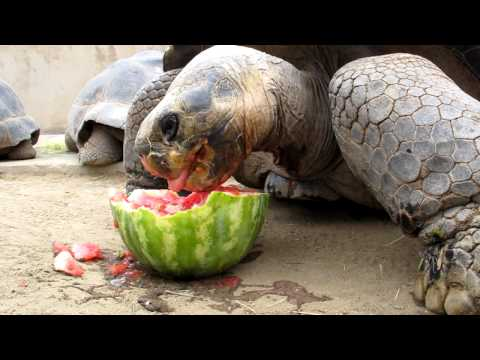 Tortoises Celebrate With Watermelon