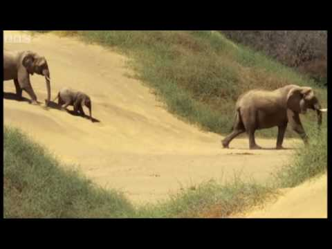 Elephants in the Namib desert - Wild Africa - BBC