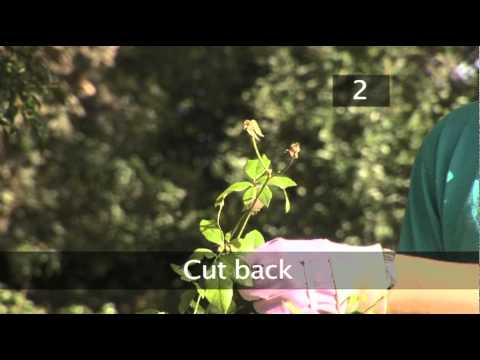 How To Dead Head Roses