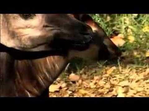 Okapi Calf is Born