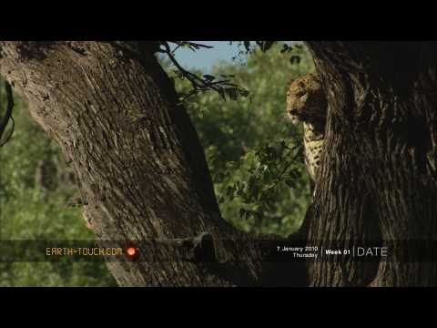 Animal altercation! Angry monkeys chase off a leopard