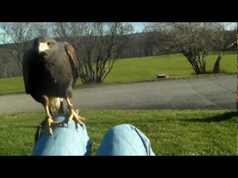 Free flying Hawk Walks