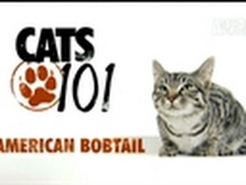 Cats 101: American Bobtail