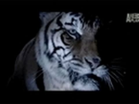Fatal Attractions: My Brother's Pet Tiger