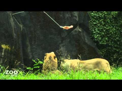 Lion Mauls Chicken Via ZIPLINE!